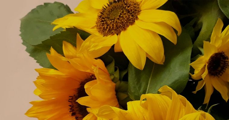 Balcombe Sunflower Competition